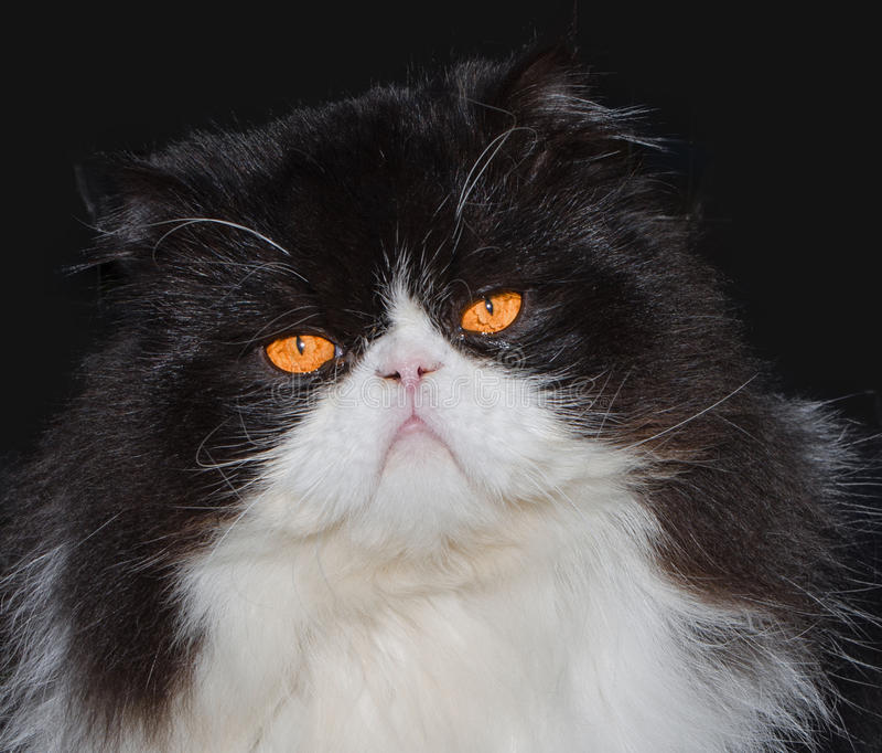 portrait de chat persan noir et blanc photo stock image du domestique detail 53134622. Black Bedroom Furniture Sets. Home Design Ideas