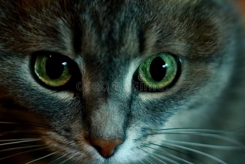 Portrait de chat de Sibirian images stock