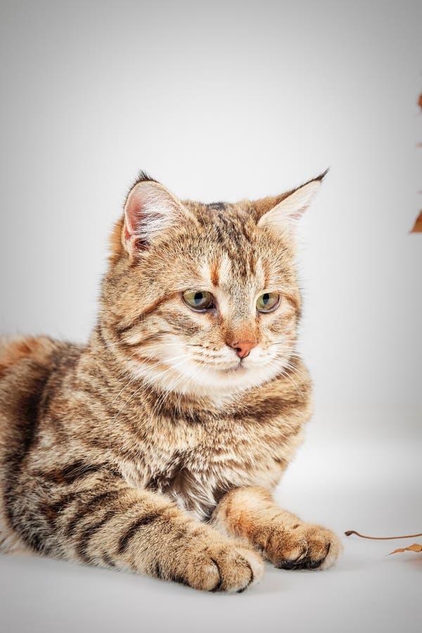 Portrait de chat tigré gris adorable avec les yeux verts images libres de droits