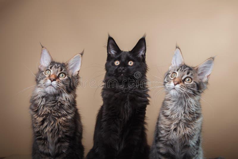 Portrait de chaton de Maine Coon photos libres de droits