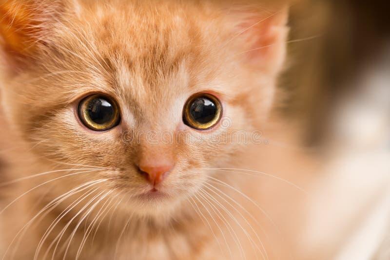 Portrait de chaton de gingembre Chat domestique 8 semaines de  Catus de silvestris de Felis photos libres de droits