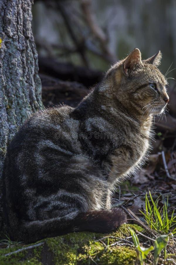 Portrait de chats de tigres images stock