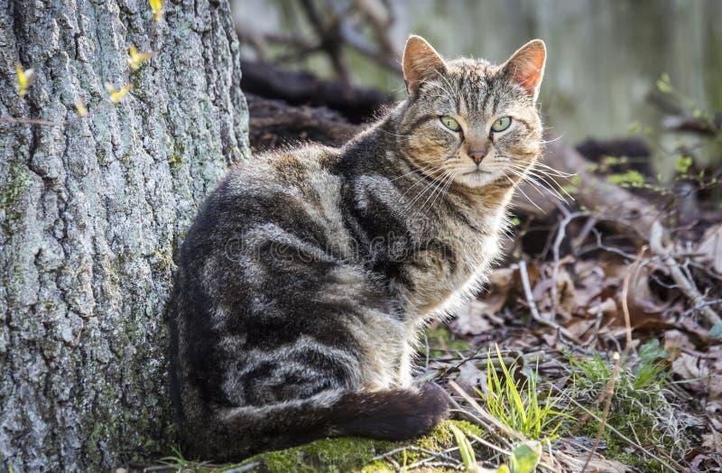 Portrait de chats de tigres photographie stock