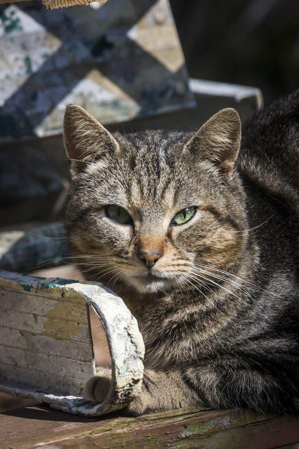 Portrait de chats de tigres photos stock