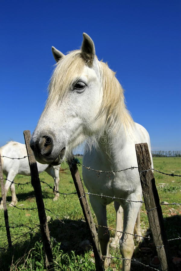 Portrait de cheval blanc, Camargue, France images stock