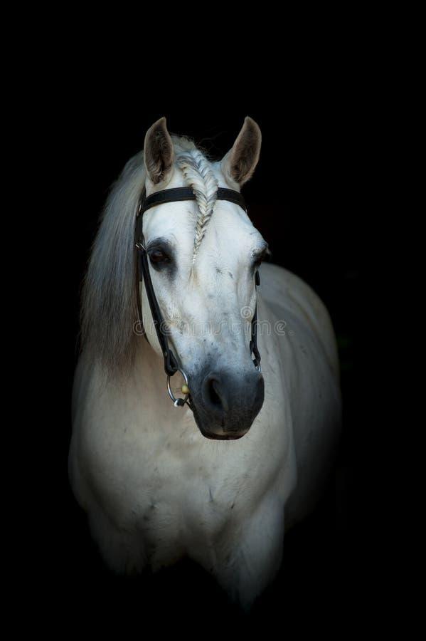 Portrait de cheval blanc dans le frein images stock
