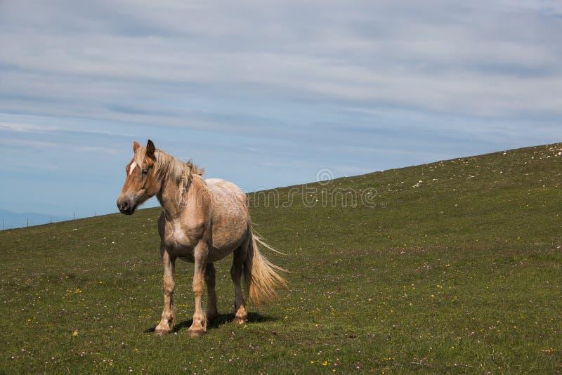 Portrait de cheval brun solitaire dans le pré de montagne images stock