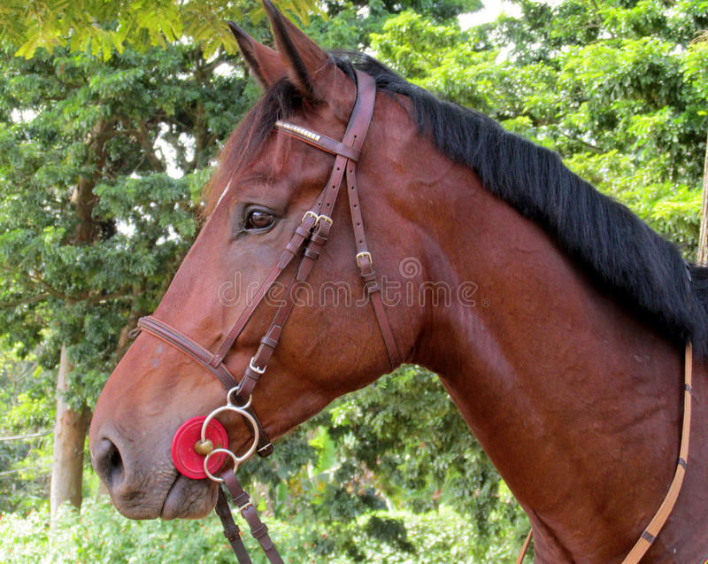 Portrait de cheval d'équitation photo stock