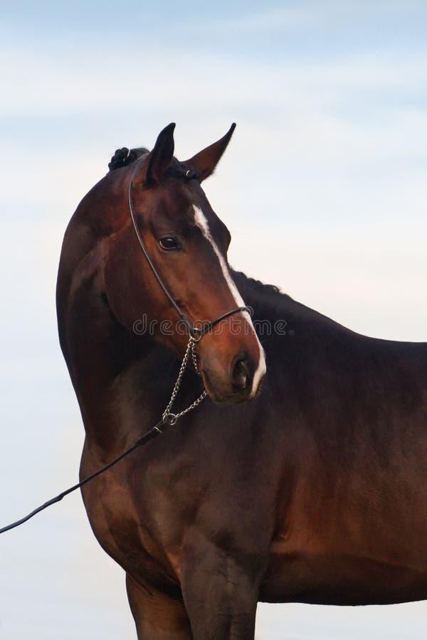 Portrait de cheval d'étalon de baie photos libres de droits