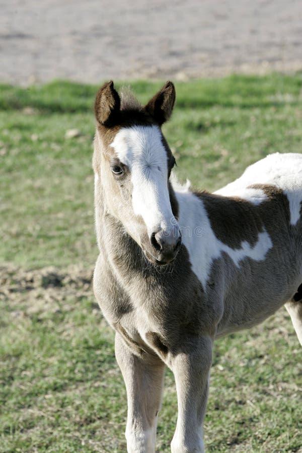 Portrait de cheval de bébé image stock