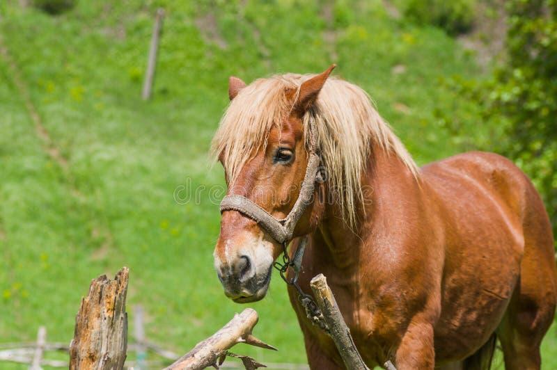Portrait de cheval de trait photo stock