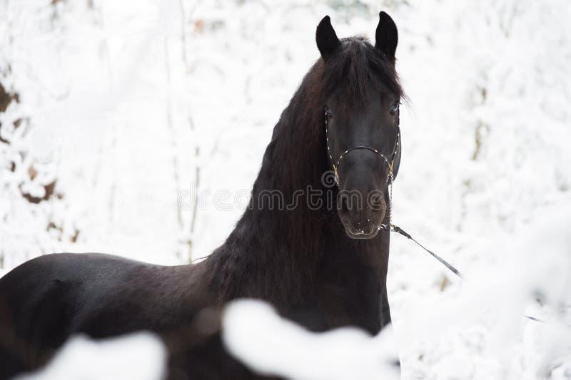 Portrait de cheval frison noir sur le fond d'hiver photo libre de droits