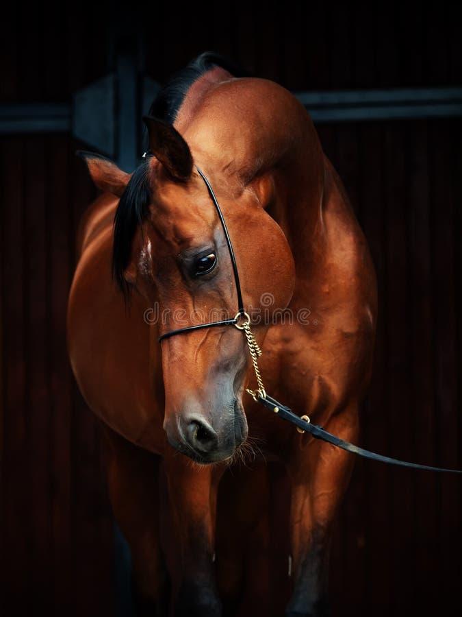 Portrait de cheval merveilleux d'Arabe de baie photographie stock libre de droits