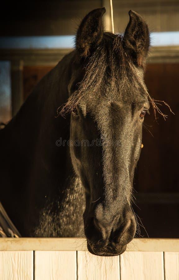 Portrait de cheval multiplié pur d'isolement de frison image stock