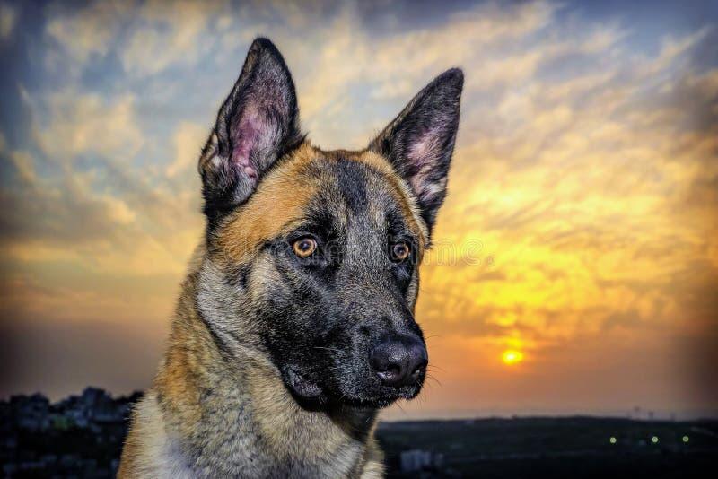 Portrait de chien au beau coucher du soleil image stock