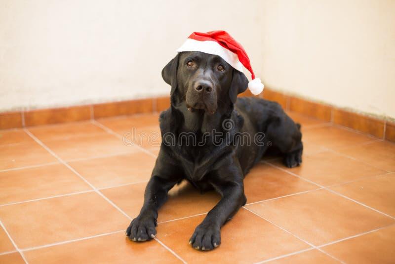 Portrait de chien avec un chapeau de Santa Vue frontale d'un Labrador noir photographie stock