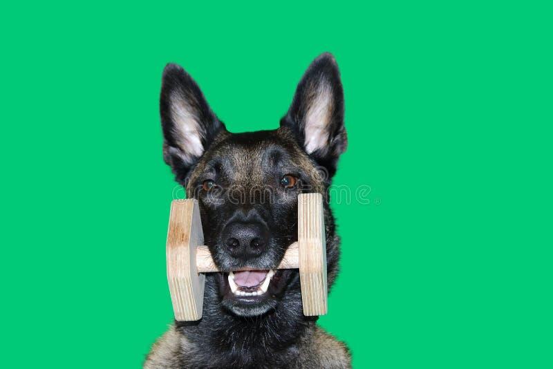 Portrait de chien de berger de Malinois de Belge avec une haltère en bois entre les dents pour l'objet portatif, le sport et les  photographie stock libre de droits
