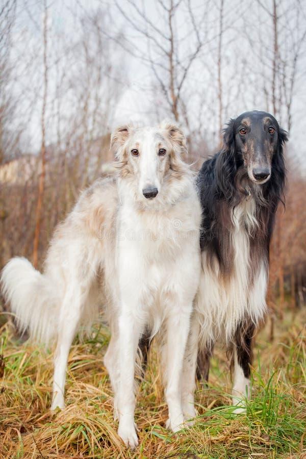 Portrait de chien de barzoï sur le fond d'herbe sèche photos stock