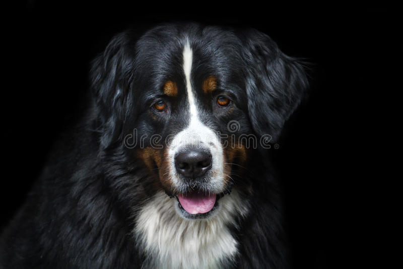Portrait de chien de Bernese images stock