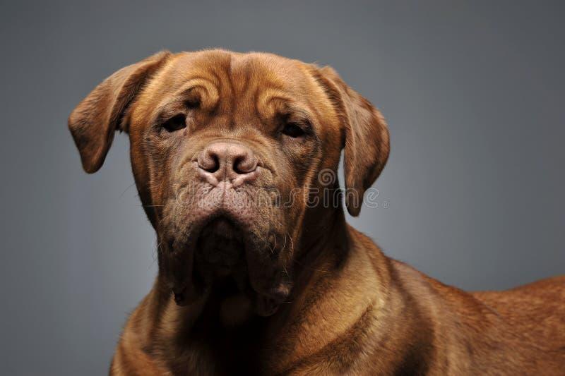 Portrait de chien de Bordeaux dans le studio gris photos libres de droits