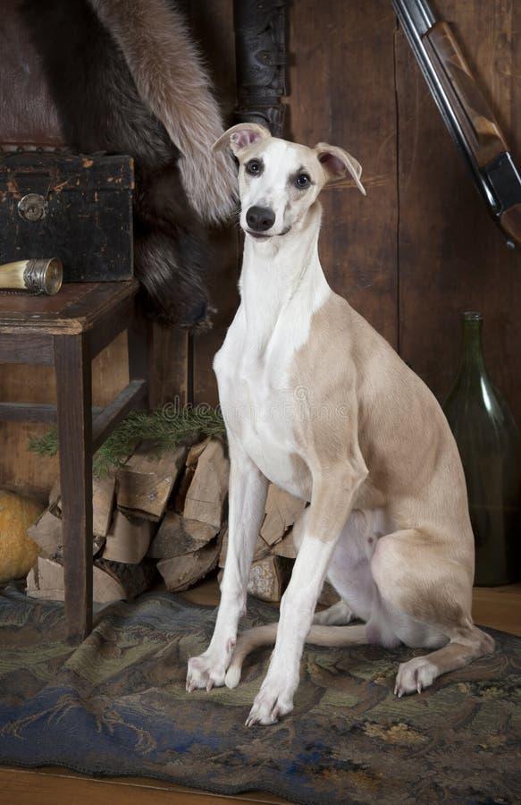 Portrait de chien de chasse de race de whippet images stock