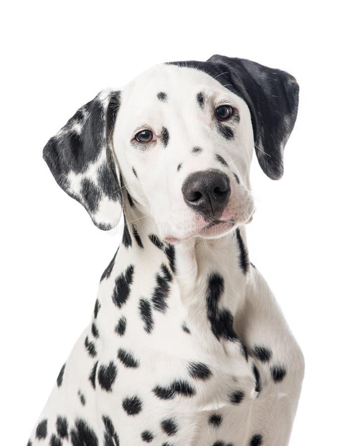 Portrait de chien de Dalmation images libres de droits