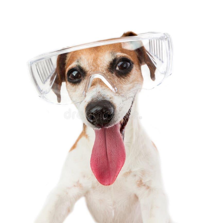 Portrait de chien de sourire en verres transparents images stock