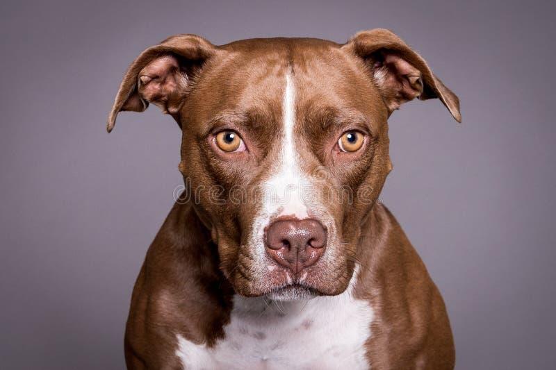 Portrait de chien de taureau de Pitt à l'arrière-plan gris photos libres de droits