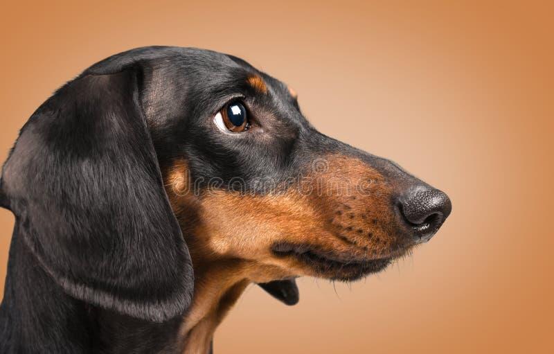 Portrait de chien de teckel images libres de droits