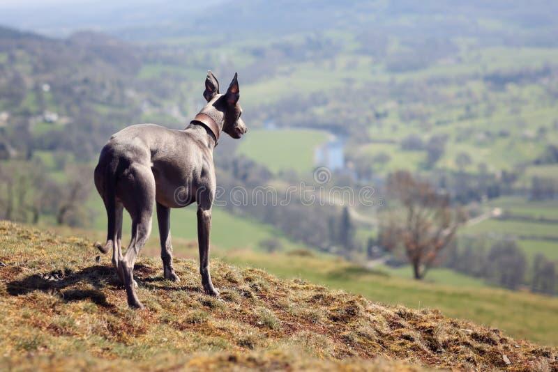 Portrait de chien de whippet en nature photo stock