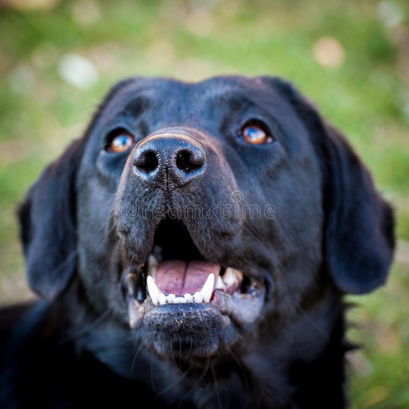Portrait de chien domestique gai labrador retriever image stock