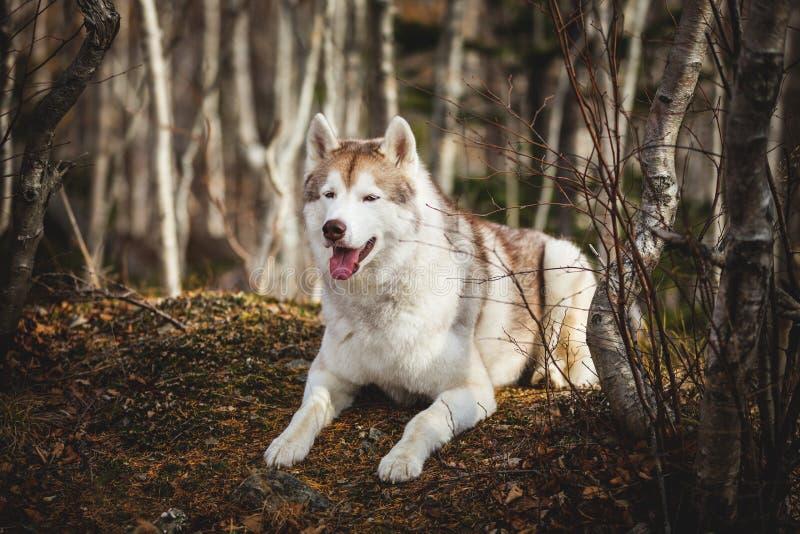 Portrait de chien enroué sibérien magnifique et fier avec le tonque accrochant se situer dans la forêt en automne en retard photo libre de droits