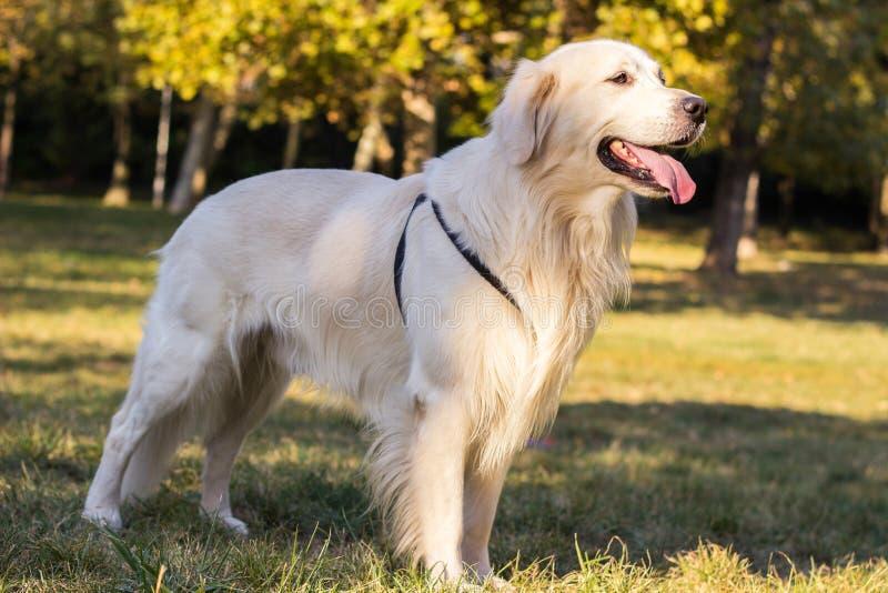 Portrait de chien de golden retriever - photo libre de droits