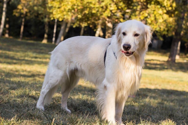 Portrait de chien de golden retriever - images libres de droits