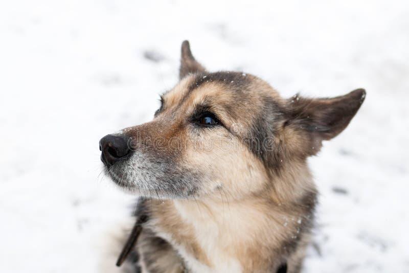 Portrait de chien métis aux cheveux courts brun et blanc avec le collier et d'étiquette d'adresse en parc neigeux d'hiver sur une photographie stock