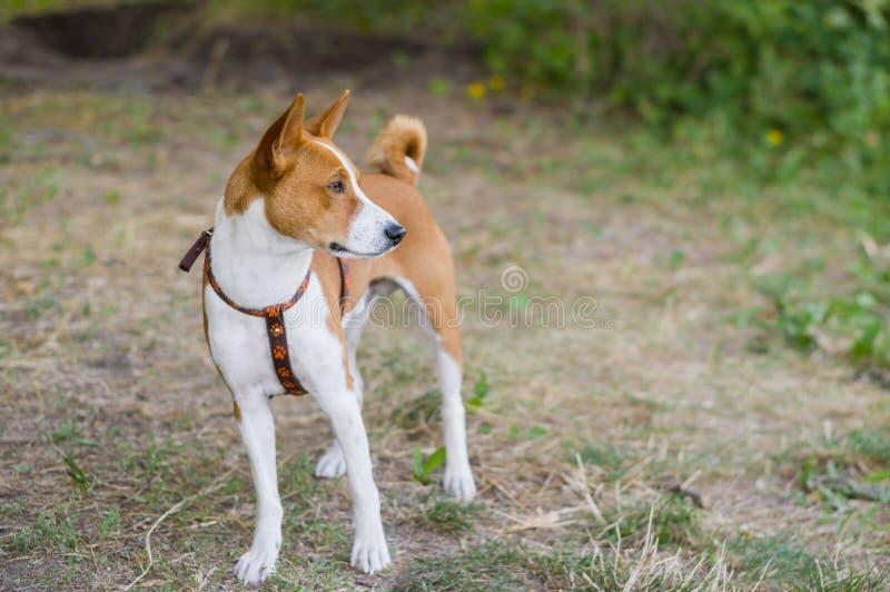 Portrait de chien magnifique de basenji images stock