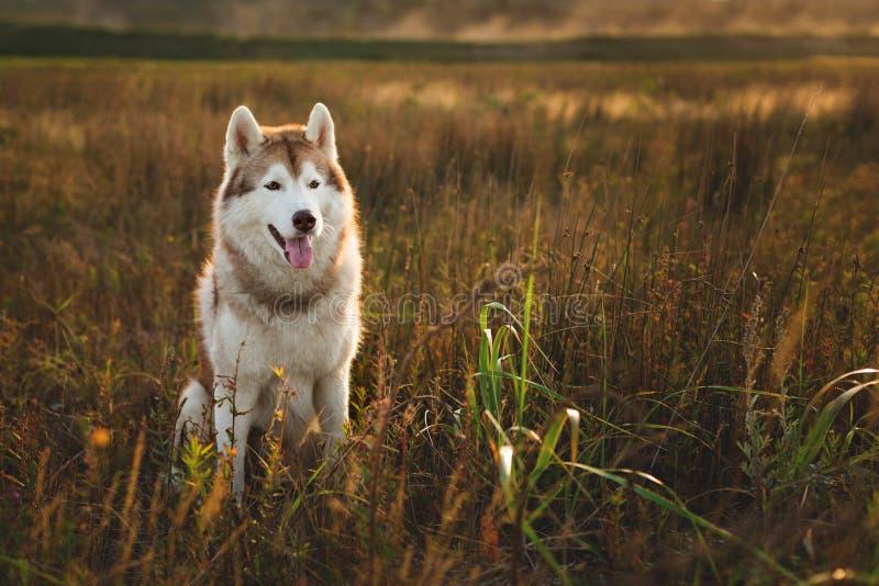 Portrait de chien magnifique de chien de traîneau sibérien avec les yeux bruns se reposant dans l'herbe au coucher du soleil image stock