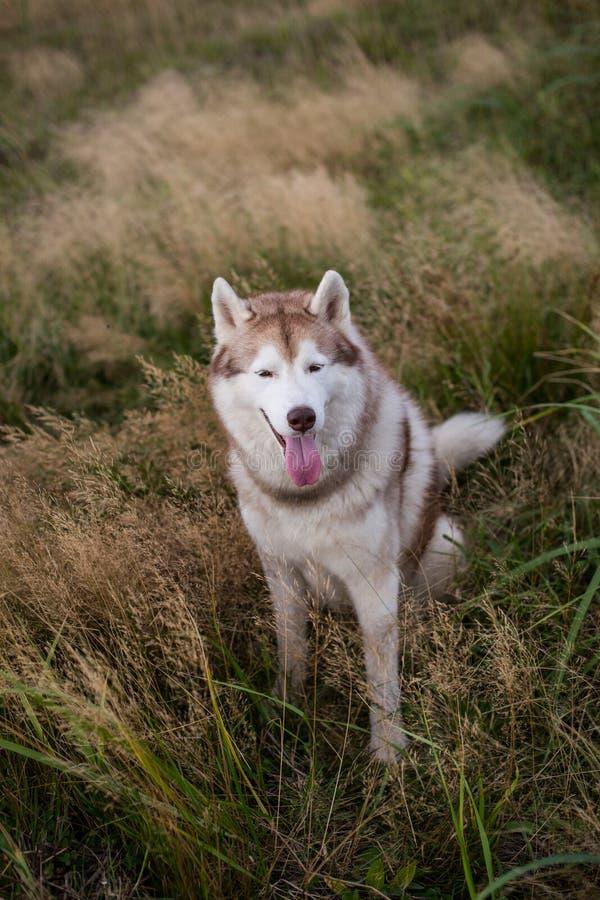 Portrait de chien magnifique de chien de tra?neau sib?rien avec les yeux bruns se reposant dans l'herbe au coucher du soleil images libres de droits