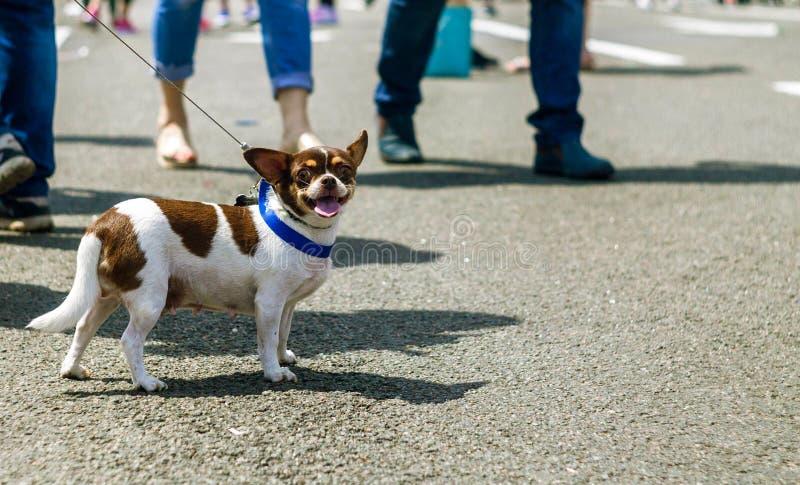 Portrait de chien mignon de briquet en parc à l'heure d'été Portrait dr?le d'animal familier nature photographie stock libre de droits