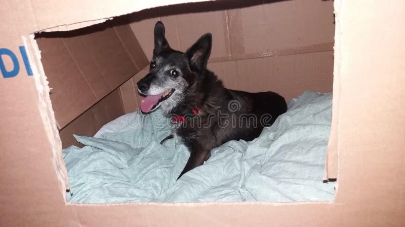 Portrait de chien se reposant à l'intérieur d'une boîte de brun de bande dessinée photo libre de droits