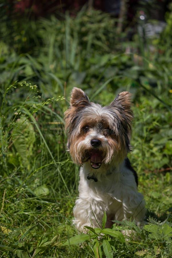 Portrait de chien de terrier de Yorkshire de biver Chien assez petit photo libre de droits