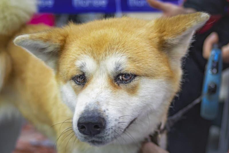 Portrait de chien triste Akita-inu Chien principal photo libre de droits