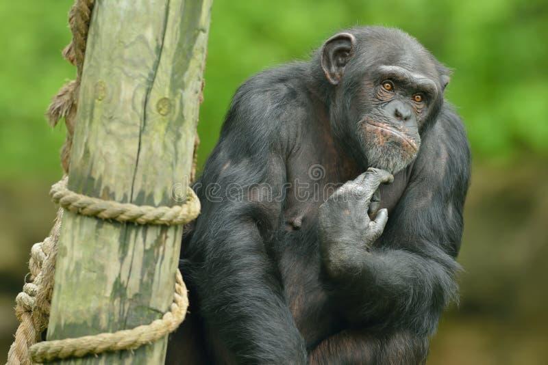 Portrait de chimpanzé photo libre de droits
