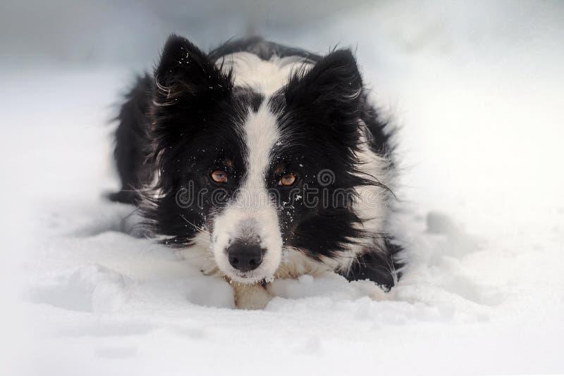 portrait de conte de fées de chiot d'hiver d'un chien de border collie dans la neige photos stock