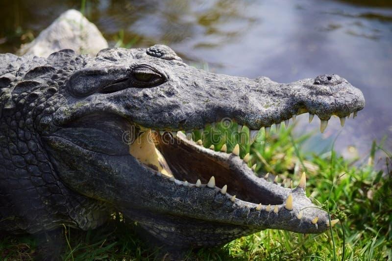 Portrait de crocodile image libre de droits