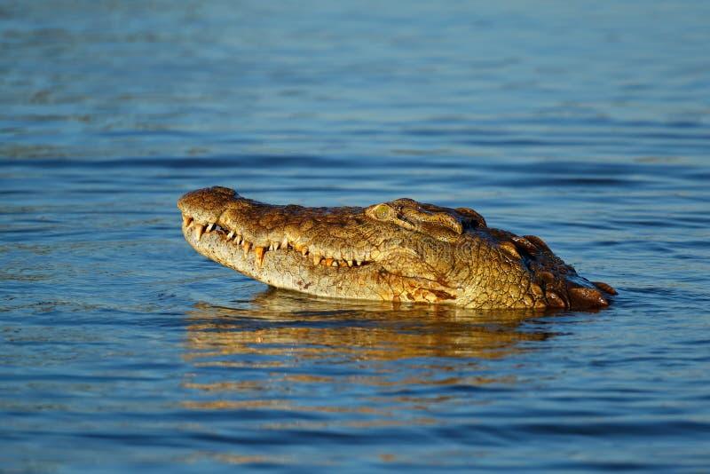 Portrait de crocodile du Nil - Parc national Kruger photographie stock