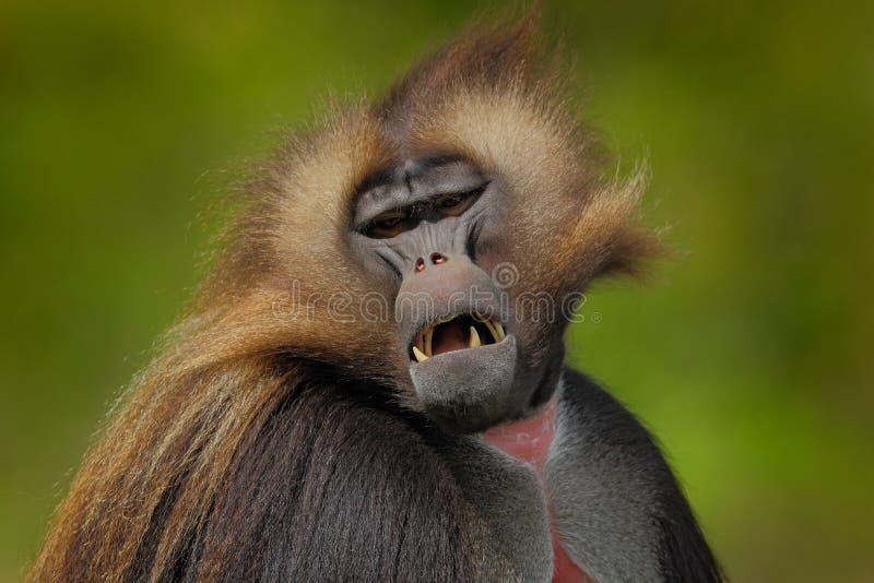 Portrait de détail de singe Portrait de babouin de Gelada avec le museau ouvert avec des tooths Portrait de singe de montagne afr photo libre de droits