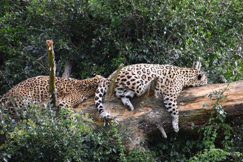 Portrait de deux beaux léopards de sommeil sur un arbre en Afrique du Sud photographie stock libre de droits