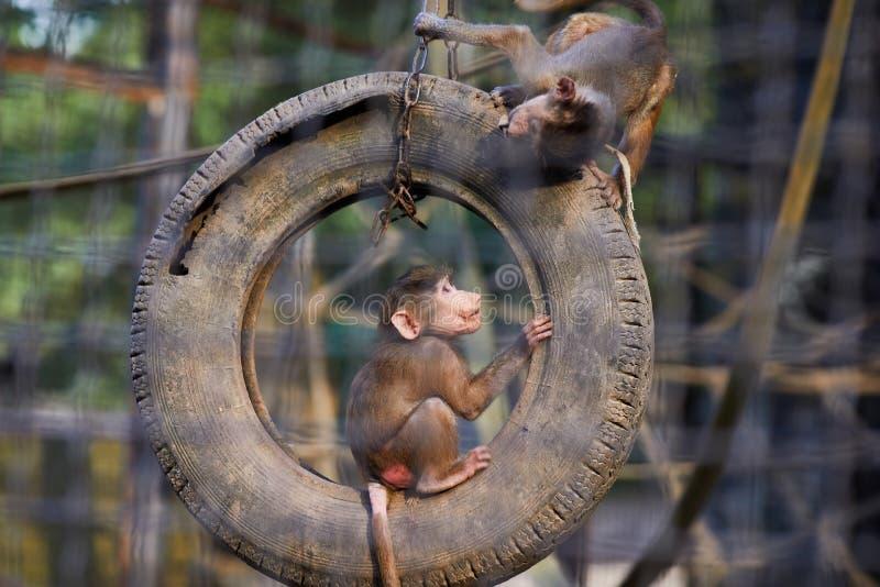 Portrait de deux jeunes hamadryas de Papio de babouins de Hamadryas sautant sur le pneu photographie stock