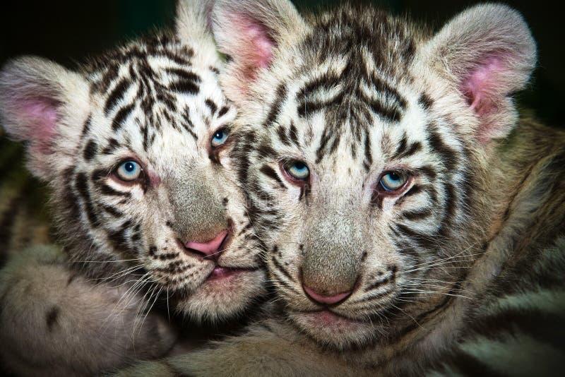 Jeune tigre deux blanc photo stock